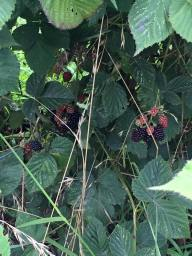 berries at the farm